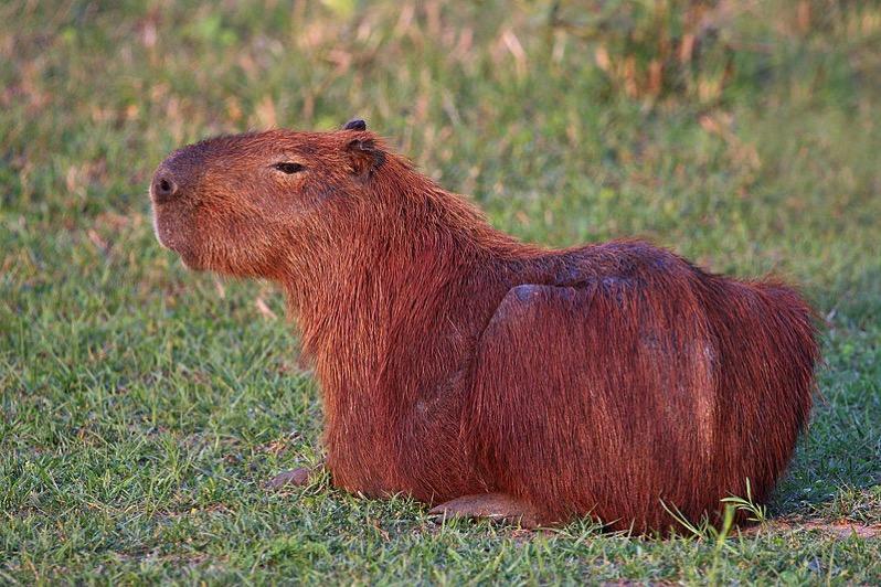 2016 08 25capybara