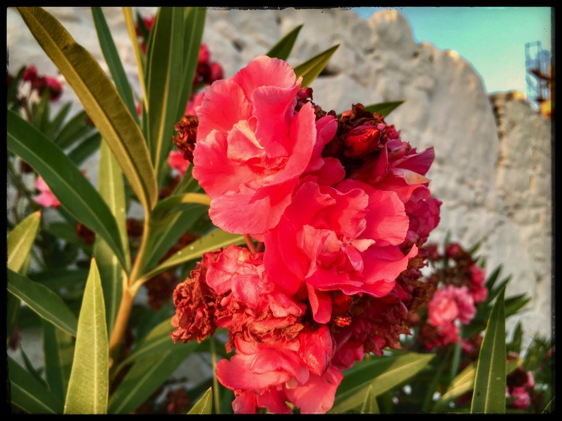 folegandros flowers IMG 2772